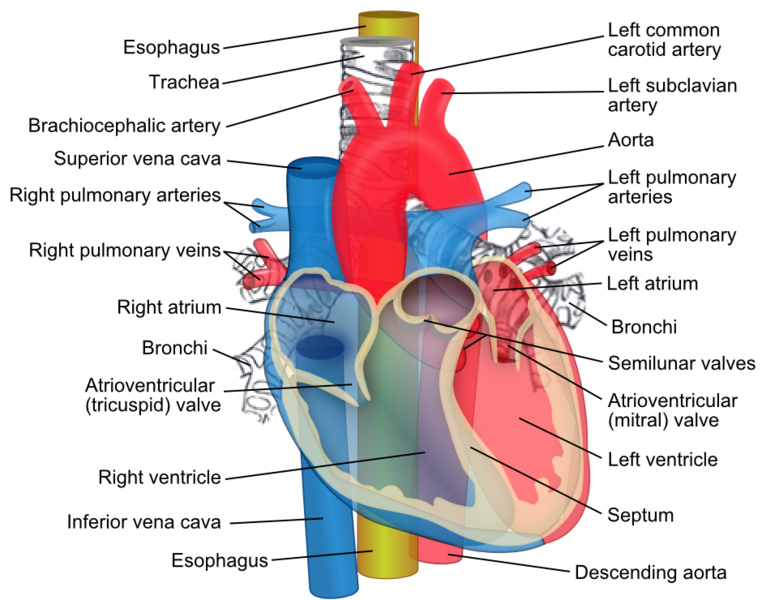 File:Heartstructuresanatomy.png
