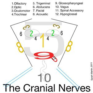 Block a5 nervous system and sense organs fk wiki block a5 nervous system and sense organs ccuart Image collections