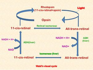 Block a5 nervous system and sense organs fk wiki walds cycle all trans retinol is vitamin a ccuart Image collections