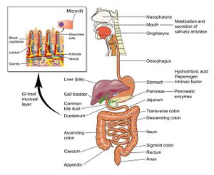 Clinical Anatomy of the Gastrointestinal Tract and Hepatobiliary ...